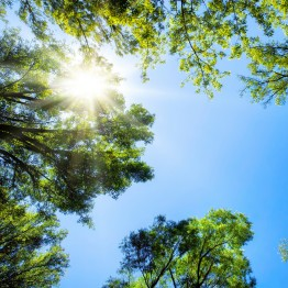 Stock Photography: Fotolia_61813055_X.jpg The sun shines through the crowns of tall trees